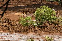 BRUMADINHO, MG, 26.01.2019:ROMPIMENTO DA BARRAGEM EM BRUMADINHO. Animais aguardam ilhados apos desastre ambiental na represa da Cia Vale, em Corrego do Feijao-Brumadinho, região metropolina de Belo Horizonte, MG, na tarde desta sexta feira (25) (foto Giazi Cavalcante/Codigo19)