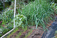 "Sequential cropping of onions in intensive organic raised bed vegetable garden; MUST CREDIT ""From the garden of Elvin Bishop"""