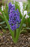 17200-CJ Dutch Hyacinth, dark blue, Hyacinthus orientalis 'Blue Magic' flowering bulb in February at Bakersfield, CA USA