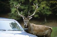 Rothirsch, Rot-Hirsch, Rotwild, Edelwild, Edelhirsch, neugieriges Männchen, Hirsch guckt in einen Autospiegel, Cervus elaphus, red deer, Humor