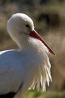 Weisstorch, Weißstorch, Weiß-Storch, Weis-Storch, Storch, Ciconia ciconia, White Stork, Cigogne blanche