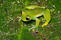 Spined Glassfrog {Teratohyla spinosa} Central Caribbean foothills, Costa Rica. May.