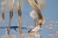 Young American Flamingos (Phoenicopterus ruber) feeding. Young flamingos quickly<br /> learn to feed themselves but rely<br /> on adults for most of their nourishment<br /> when they are young. Rio Lagartos Biosphere Reserve, Yucutan, Mexico. August.