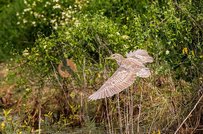 Juvenile Black-Crowned Night Heron taking off in flight in green flowering vegetation