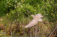 Juvenile Black-Crowned Night Heron taking off in flight in green flowering vegetation