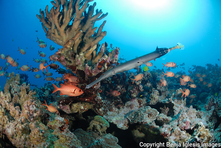 Pacific trumpetfish and a few soldierfish over martis reef south shores of Maui hawaii.