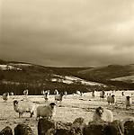 Sheep, Yorkshire