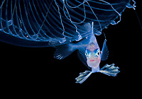 unidentified Driftfish, Nomeidae, using a Jellyfish for shelter, Photographed during a Blackwater drift dive in open ocean at 30 feet with the bottom 650 feet below, Palm Beach, Florida, USA, Atlantic Ocean