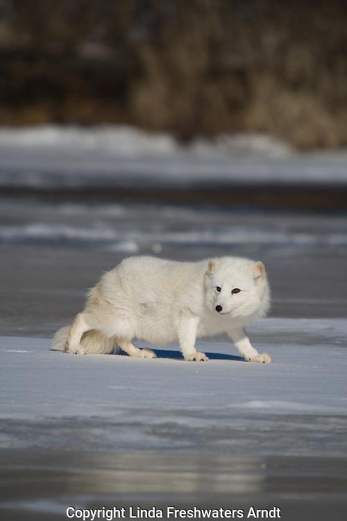 Arctic fox (Alopex lagopus) walking on the snow/ice