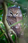 Canada, British Columbia, Fraser River Delta, northern saw-whet owl (Aegolius acadicus)