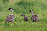 Two nene (or Hawaiian geese, or Branta sandvicensis) with their gosling, Hawai'i.