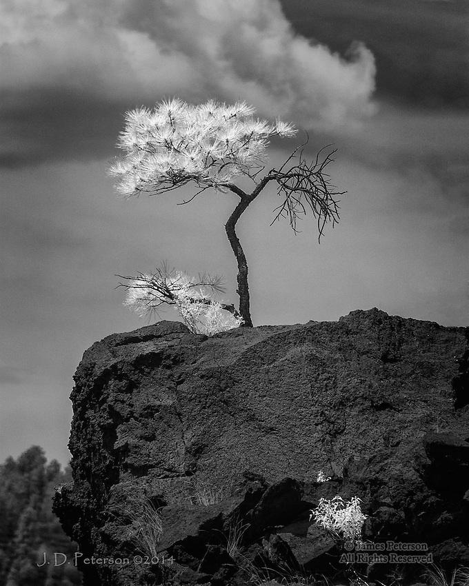 Ponderosa on Volcanic Field, Arizona