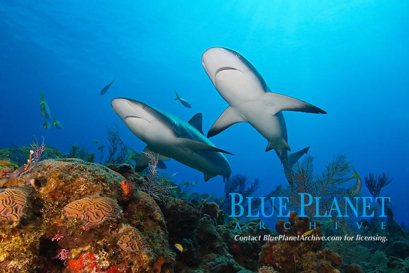 Caribbean reef sharks, Carcharhinus perezii, swimming over coral reef, Grand Bahama, Bahamas, Caribbean Sea, Atlantic Ocean