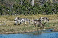Africa, Botswana, Okavango Delta, Khwai private reserve. Zebra and waterbuck.