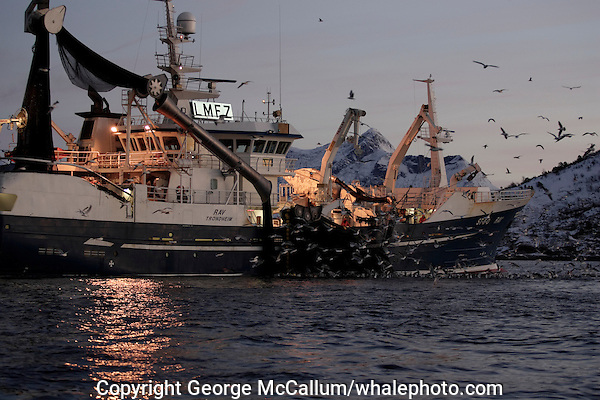 Fishing trawler hauling in net full of Herring Clupea harengus at dawn, gulls feeding on scraps Tysfjord, Arctic Norway, North East Atlantic