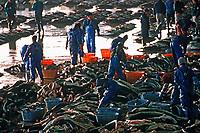 fishermen cut off shark fins from blue shark, Prionace glauca, Kesennuma is the largest shark fin market in Japan, Kesennuma fish market, Miyagi, Japan