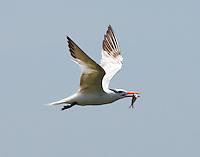 Post-breeding royal tern carrying fish