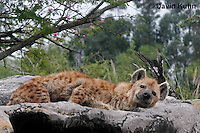 0213-08qq  Spotted Hyena, Laughing Hyena, Crocuta crocuta © David Kuhn/Dwight Kuhn Photography