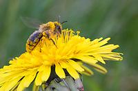 Sandbiene, Wildbiene, Weibchen, Andrena spec., mining bee, female, Andrenidae, Sandbienen, mining bees, burrowing bees, mining bee, burrowing bee, Blütenbesuch an Löwenzahn, Taraxacum officinalis