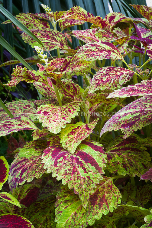 Solenostemon (Coleus) 'Skylark', annual foliage plant with ornamental leaf colors splashed in red and green