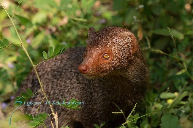Stripe necked Mongoose, Herpestes vitticolis, Yala, Sri Lanka
