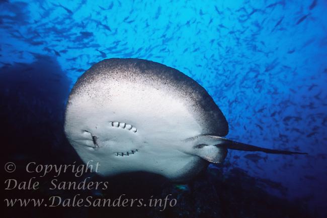 Marble Ray ( Taeniura meyeri ) underwater off Cocos Island, Costa Rica.