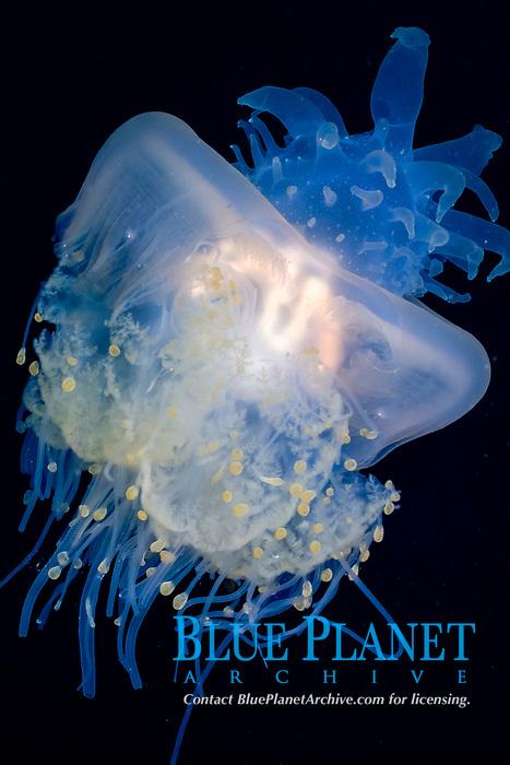 crowned jellyfish, Cephea cephea, at night, Kona Coast, Big Island, Hawaii, USA, Pacific Ocean