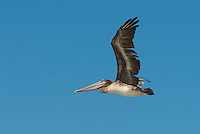 Close up of a pelican flying