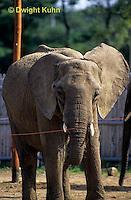 MA36-002z  African Elephant -  Loxodonta africana