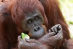 Bornean Orangutan (Pongo pygmaeus wurmbii) - mother eating a forest fruit