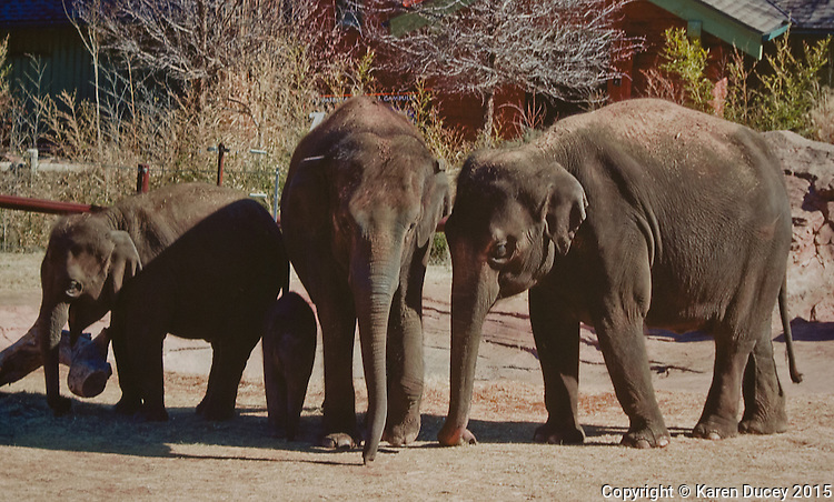 Image of elephants at the Oklahoma City Zoo.  Woodland Park Zoo officials announced at a press conference Friday that 48-year-old Bamboo and 36-year-old Chai will be moved to the Oklahoma City Zoo in late March to mid-April. (photo © Karen Ducey Photography)