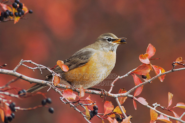 American Robin (Turdus migratorius), female eating berries of Black Hawthorn (Crataegus douglasii) fallcolors snow, Grand Teton NP,Wyoming, USA.