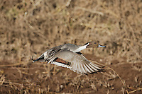 Northern Pintail (Anas acuta), male in flight, Bosque del Apache National Wildlife Refuge , New Mexico, USA,