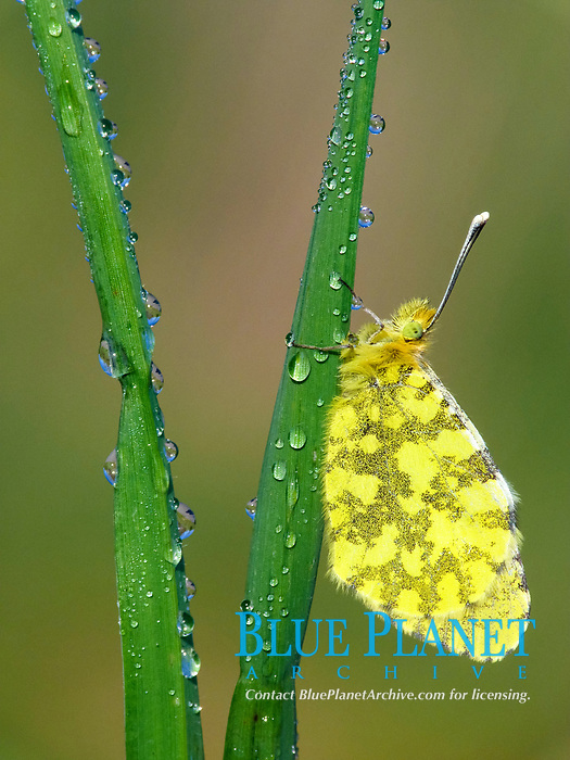 Eastern Orange-tip (Anthocharis damone), adult female, roosting on grass with morning dew, Peloponesos, Southern Greece