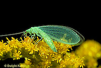 1L01-029z  Green Lacewing adult on goldenrod - Chrysopa spp.