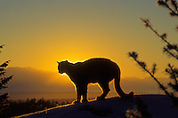 Mountain Lion or cougar (Felis concolor) silhoueted on ridge by morning sunrise.  Montana.  Winter.
