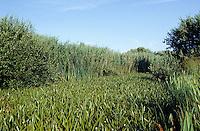Krebsschere, Wasseraloe, ganzer Graben zugewachsen, Bestandsbildend, Stratiotes aloides, Water Aloe, Waer Soldier