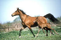 Fox trotter mare and colt trotting across field side by side