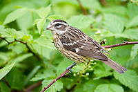 rose-breasted grosbeak, Pheucticus ludovicianus, female, perched in summer, Nova Scotia, Canada