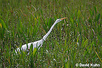 0310-0807  Great Egret Hunting for Food, Ardea alba © David Kuhn/Dwight Kuhn Photography