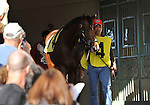31 January 2009: Nicanor walks into the paddock before his first race where he finished a disappointing 11th in a maiden race at Gulfstream Park in Hallandale, Florida.