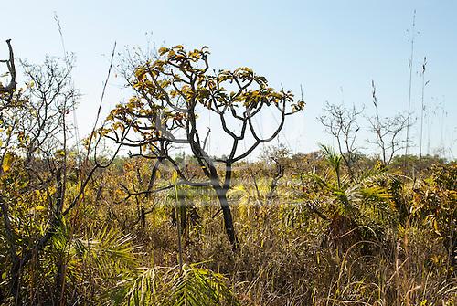 Mato Grosso State, Brazil. Cerrado vegetation.
