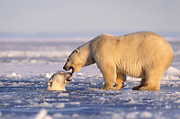 polar bear, Ursus maritimus, mother on the pack ice with cub playing in the water, 1002 area of the Arctic National Wildlife Refuge, Alaska, polar bear, Ursus maritimus