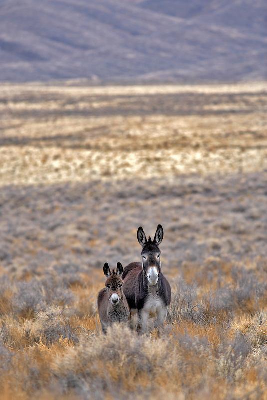 Wild burro with baby. Near Dinio