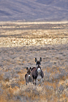 Wild burro with baby. Near Dinio