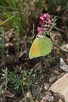 Mittelmeer-Zitronenfalter, Kleopatra-Falter, Südlicher Zitronenfalter, Männchen, Gonepteryx cleopatra, Cleopatra butterfly, male, Le Citron de Provence, Mâle