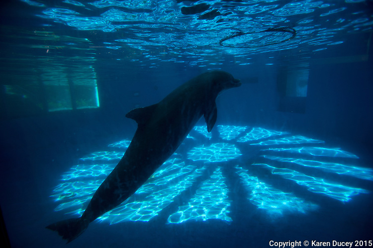 Dolphins held in captivity for the entertainment industry at Sea Life Park in Waimanalo, HI. (photo ™ Karen Ducey)