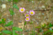 Common Fleabane -Erigeron philadelphicus- on the side of a hiking trail in the White Mountains, New Hampshire USA during the spring months