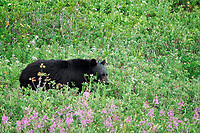 American black bear (Ursus americanus) eating huckleberries in subalpine meadow, Paradise, Mount Rainier National Park, Pierce County, Washington, USA