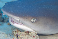 Whitetip reef shark portrait, Triaenodon obesus, Yap, Federated States of Micronesia, Pacific Ocean